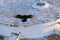 A Black Vulture (Coragyps atratus) in flight and about to land on the roof of a building in Everglades National Park, Florida.
