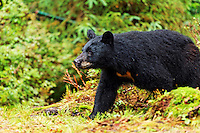 Black bear walking through forest, Anan Wildlife Observatory, Tongass National Forest, Southeast, Alaska