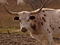 Texas Longhorn
