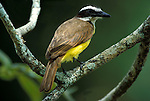 Great Kiskadee (Pitangus sulphuratus)  perched on branch, found throughout central and south america.Trinidad....