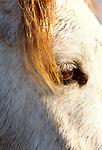 Camargue horse, Ile de la Camargue, France