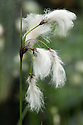 Eriophorum angustifolium   (Common cotton grass) is a vigorously spreading perennial forming many tufts of dark green, linear leaves, with white-hairy flower-heads in summer.