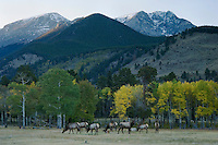 Elk, Wapiti, Cervus elaphus, herd at sunset with aspentrees in fallcolors and rocky mountains, Rocky Mountain National Park, Colorado, USA, September 2006