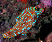 Canthigaster is a genus in the pufferfish family (Tetraodontidae).