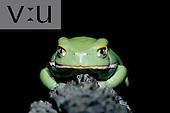 Chaco Leaf Frog ,Phyllomedus sauvagii,