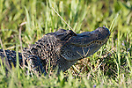 Brazoria County, Damon, Texas; an adult American Alligator (Alligator mississippiensis) warming itself in the sun, while resting on the bank of the slough