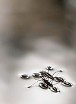 Water Striders (Gerridae sp.) are able to skate across the surface of slow-moving streams and ponds because of the tiny hairs that cover their feet and legs. This pair was photographed in a sublime moment between continual battles for dominance with other pairs and rival males.