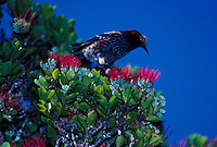 The endangered crested honeycreeper, Akohekohe, found only on the island of Maui