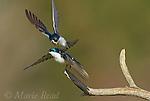 Tree Swallows (Tachycineta bicolor), aggressive interaction between two birds near a nest site, New York, USA