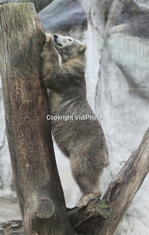 Foto: VidiPhoto..RHENEN - Vluchten voor een ijsbeer door in een boom te klimmen is volstrekt zinloos. Dat toont de elf maanden oude Luca in Ouwehands Dierenpark vrijdag. Het jonge dier klimt als de beste. Toch gaat het hier om een zeldzaam beeld. Een ijsbeer die de boom in kan, is een ongebruikelijk gezicht. Zelfs in dierentuinen..