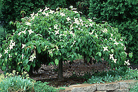 Cornus kousa Korean Dogwood in bloom shows entire tree in spring in garden