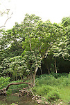 Hawaii: Molokai, Halawa Valley, kukui trees seen during hike in past taro fields, ancient walls, to waterfalls, guided by Lawrence Aki..Photo himolo235-72411..Photo copyright Lee Foster, www.fostertravel.com, lee@fostertravel.com, 510-549-2202