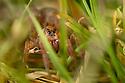 Ground Wolf-spider {female Trochosa terricola} Peak District National Park, Derbyshire, UK. April.
