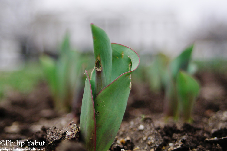 Tulips sprout in a garden in Lafayette Square in the shadow of the White House.