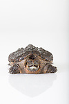 Stock photo of Snapping Turtle, Chelydra Serpentina in studio white background.