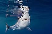 Shortfin Mako Shark (Isurus oxyrinchus) off San Diego, California, East Pacific Ocean.