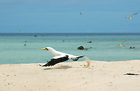 Large number of Seabirds congregate on a small Atoll between Chuuk (Truk) and Pohnpei in Micronesia, South Pacific
