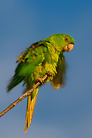 566700079 a wild green parakeet aratinga holochlora rousts while perched in a tree in laredo webb county texas united states