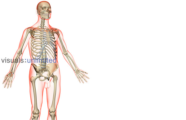 An anterolateral view (right side) of the bones of the upper body. The surface anatomy of the body is semi-transparent and tinted red. Royalty Free