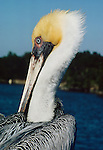 Brown Pelican, Florida