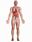Biomedical illustration of a man in frontal view showing the heart, respiratory and digestive systems