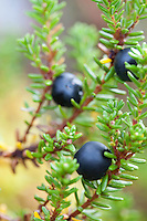 Krekling, Empetrum nigrum, black crowberry.