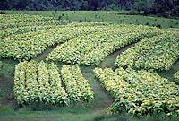 Tobacco farming, rhythmic rows of yellow and green plants #5131. Virginia.