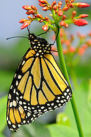 Swallow Tail Butterfly on Butterfly Weed