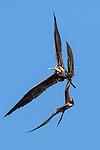 great frigatebird (Fregata minor), Black Turtle Cove, Santa Cruz Island, Galapagos Islands, Ecuador