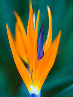 A close-up of colorful Bird-of-Paradise  petals on the Big Island.