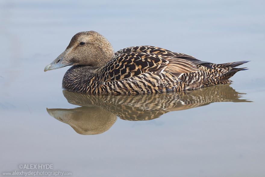 Eider duck (Somateria mollissima) swimming in coastal waters, Northumberland, UK. May.