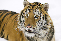 Siberian Tiger lying in the snow - CA