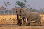 African elephants, Okavango River, Botswana