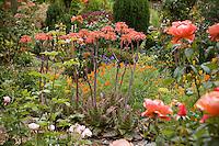 Flowering Aloe succulent in garden with poppies in cottage garden.
