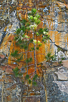 Ponderosa Pine growing out of a sheer granite cliff