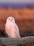 Snowy owl, George C. Reifel Migratory Bird Sanctuary, British Columbia, Canada