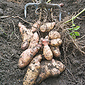 'Pink Fir Apple' potatoes freshly lifted from the ground, early September.