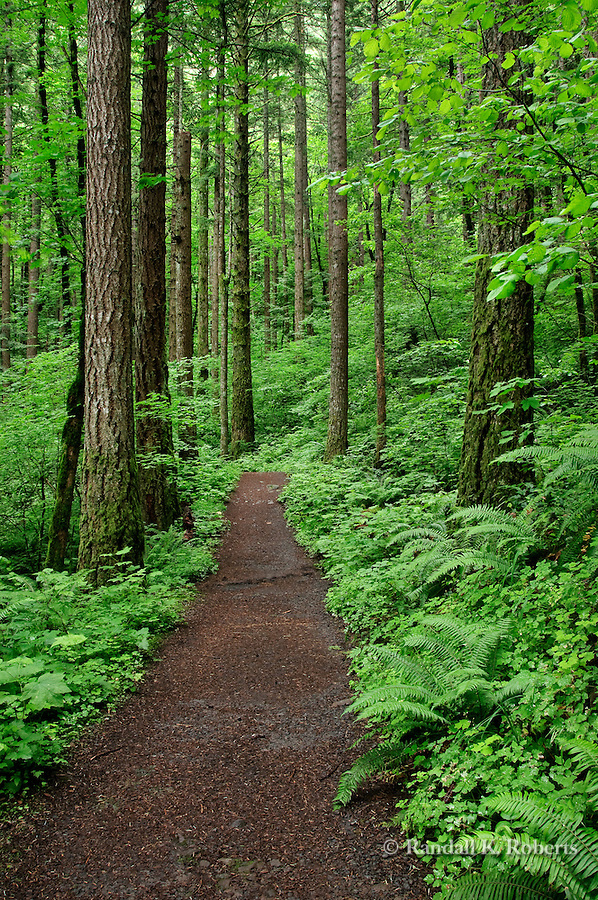 A path leads into the deep woods, Columbia River Gorge scenic area, Oregon
