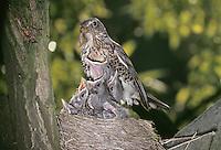 Wacholderdrossel, Altvogel füttert bettelnde, sperrende Küken im Nest, Wacholder-Drossel, Turdus pilaris, fieldfare