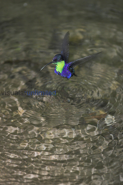 Crowned Wood Nymph hoovering over water, Costa Rica
