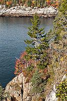 Conifer tree growing on coastal cliff, Acadia NP, Maine, ME, USA