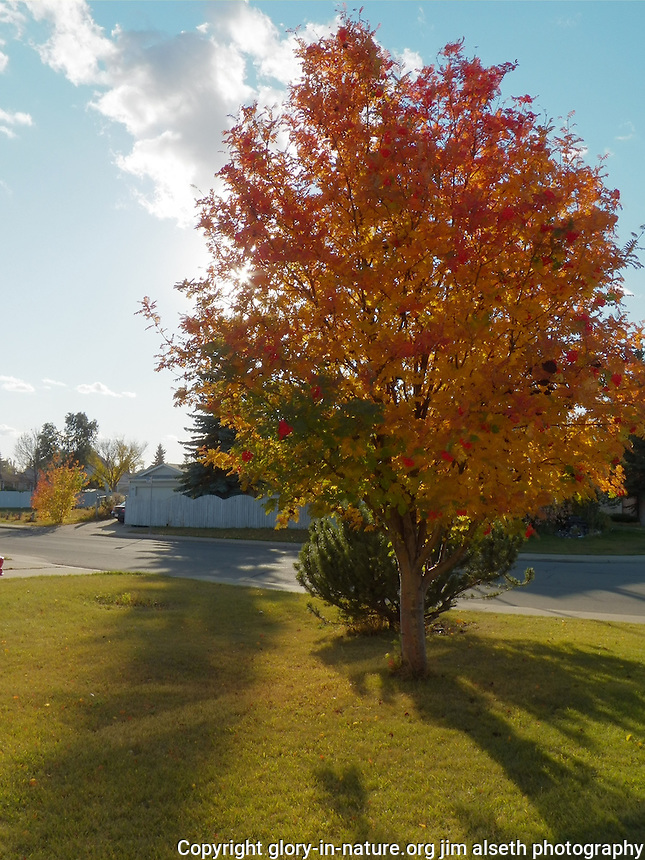 black ash tree fall colors - Google Search | Trees | Pinterest ...