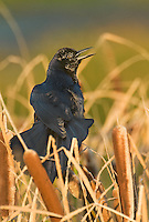 537840002 a wild boat-tailed grackle quisicalus major perches in cattails displaying and singing at anahuac national wildlife refuge in east texas