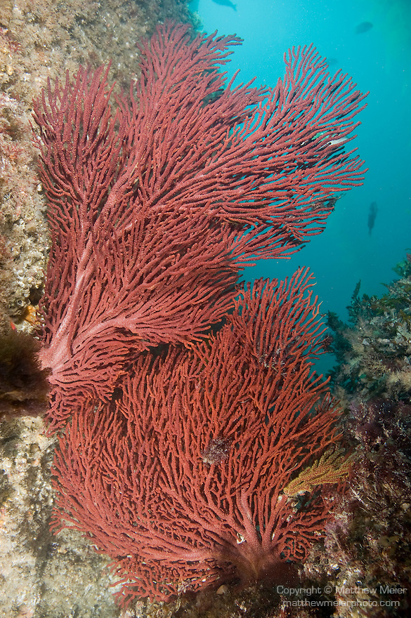 Catalina Island, Channel Islands, California; two large Brown Gorgonians (Muricea fruticosa) grow into an opening in the rocky reef