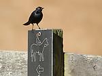 Male Brewer's blackbird, Euphagus cyanocephalus, Point Reyes National Seashore, California