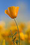 Single Mexican Gold Poppy, Eschscholtzia mexicana