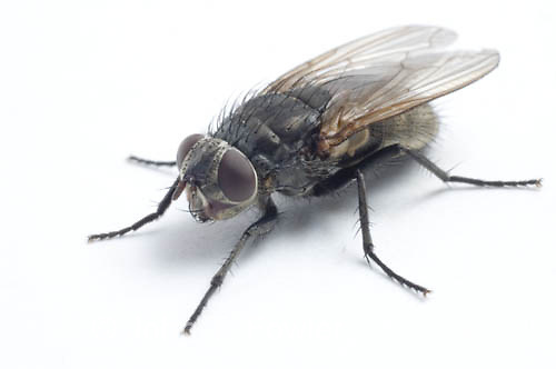 House fly close up, Muscidae, Muscinae, Musca domestica, pest insect