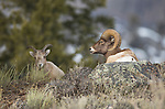 A bighorn sheep rests behind a rock at the crest of a hill in Yellowstone National Park in Wyoming, USA, on Feb 10Th 2015.  Photo by Gus Curtis.