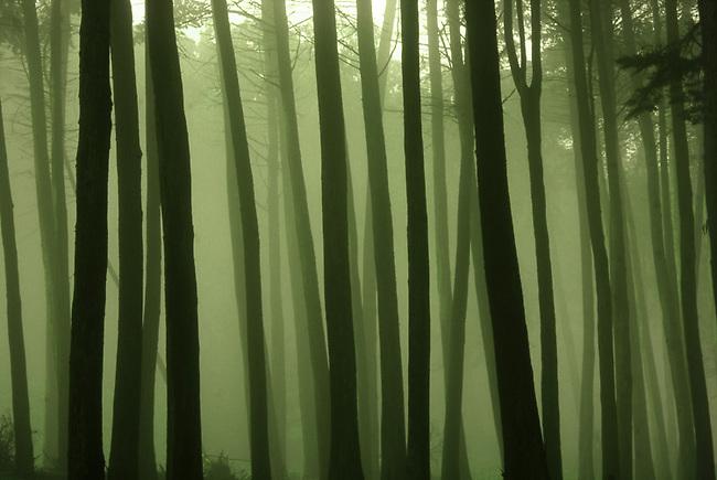 San Francisco Presidio trees in fog
