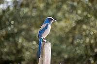Scrub jay in Highlands County near Lake June-in-Winter. This threatened endemic bird is found only in Florida, and is becoming harder to find each year.